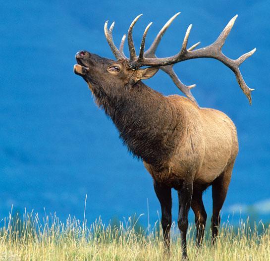 Elk Hunting: How to Bugle In October Bulls