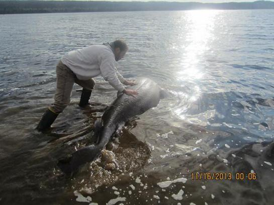 Shark Chokes on Moose, Rescued by Newfoundlanders