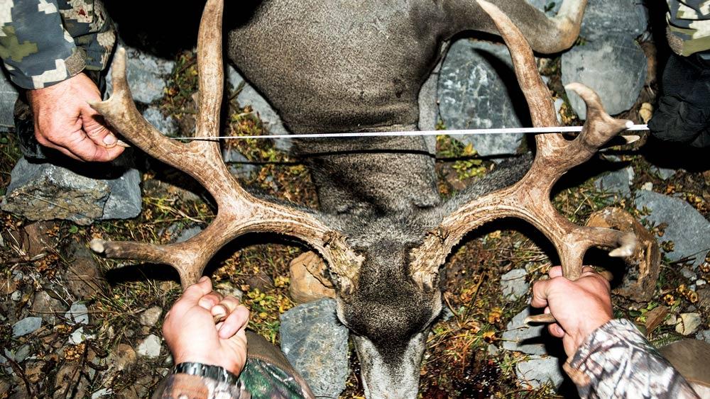 measuring antlers of a trophy buck