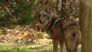 Another Coyote Attack in Nova Scotia