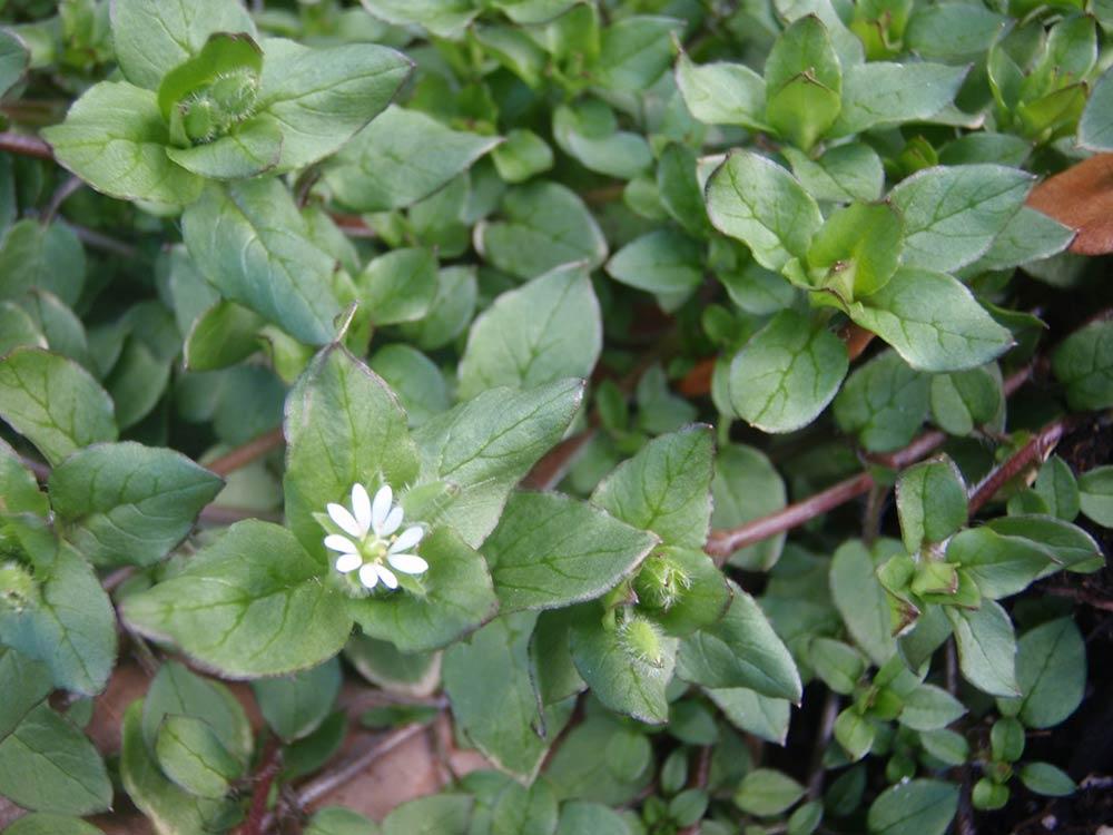 Common chickweed (Stellaria media)