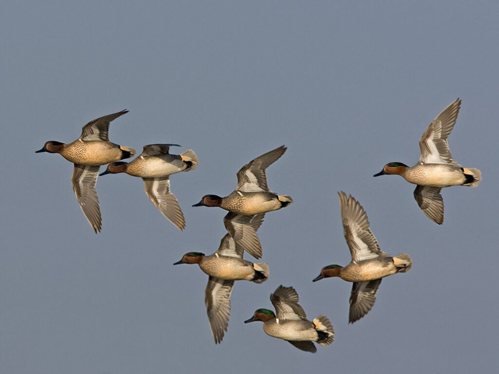 green and blue winged teal duck, duck species, types of ducks