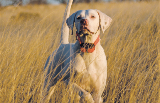 How to Choose the Right E-Collar for Your Hunting Dog