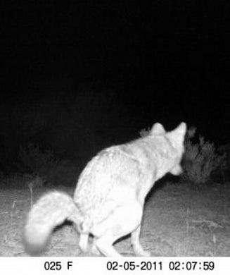 Coyote Photo Contest Winner!