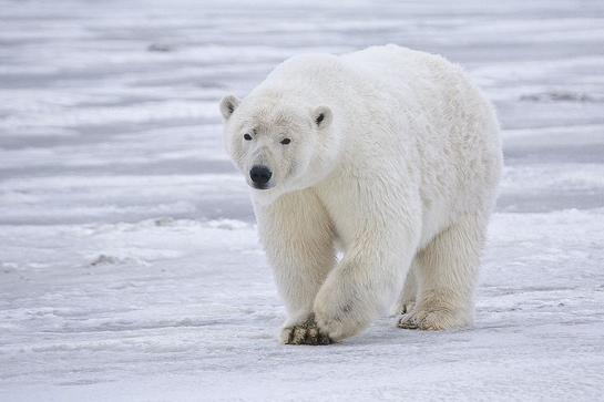 Study: Polar Bears Are of Irish Descent