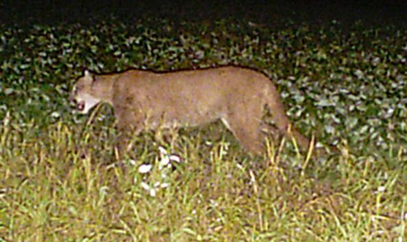Cougar Caught on Camera in Buffalo County, WI