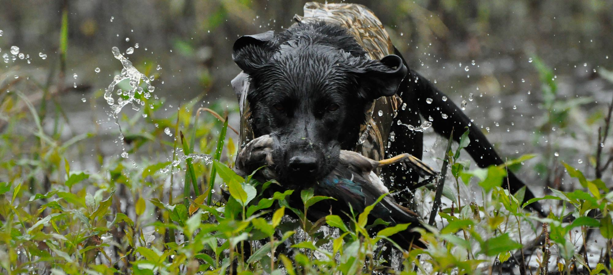 how to train your dog for duck hunting