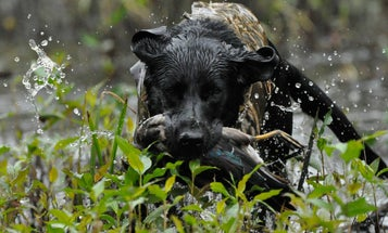 8 Ways to Ruin Your Duck Hunting Dog