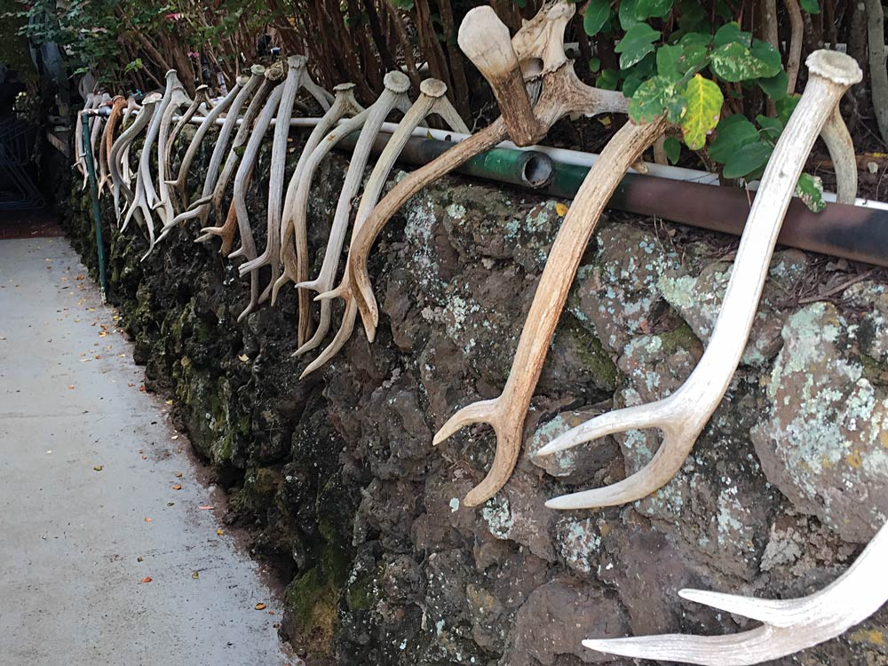 Row of Axis buck sheds in Maui