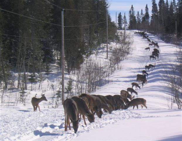 This photo comes from Maine, where the deer use snowmobile trails for easy walking in the winter.