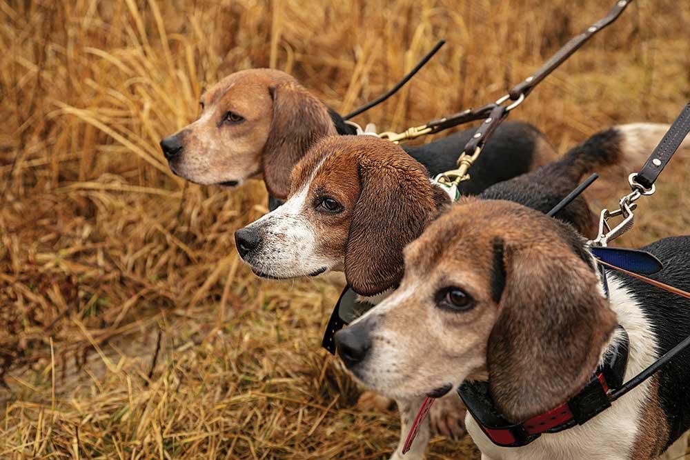 three beagles in a field on a leash