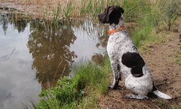 Hunting Dog Training: Shorten and Simplify Your Commands