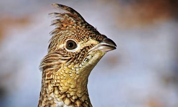 Tips and Tactics: How to Hunt Grouse