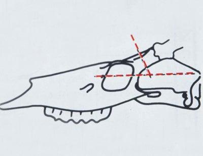 deer skull cuts diagram