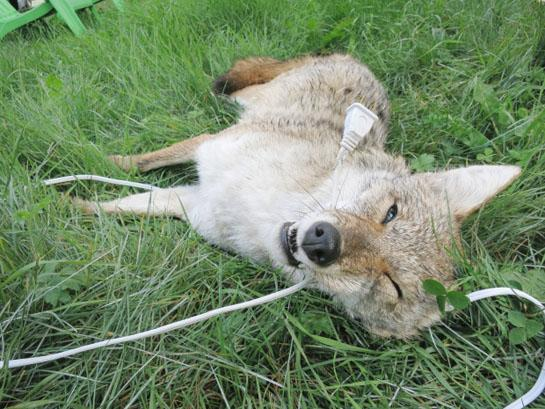 Shocker: Coyote Dies from Chewing on Electrical Cord in Canada