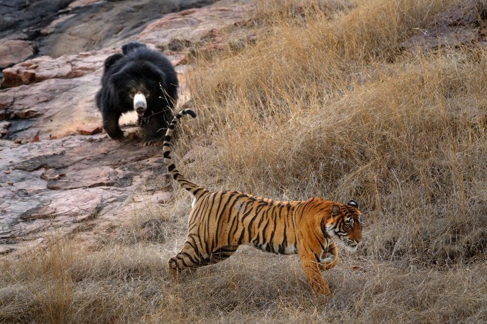 httpswww.outdoorlife.comsitesoutdoorlife.comfilesimport2014importImage2011photo10013215795_4_CATERS_Bear_tiger_05.jpg