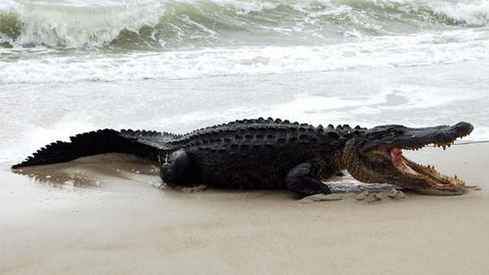 10-Foot Alligator Caught on North Carolina Beach