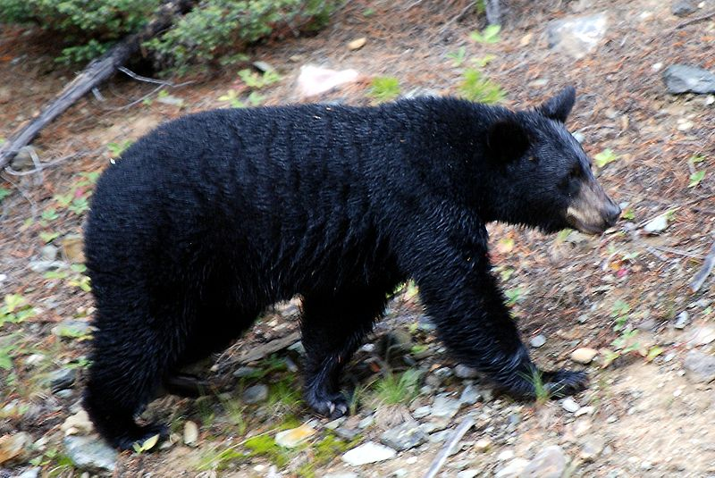 The Bear Bladder Black Market