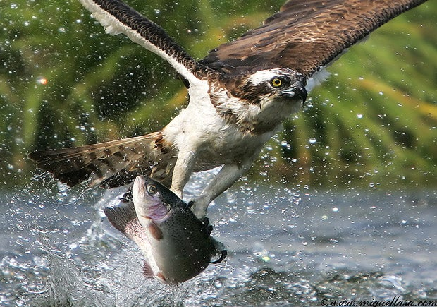 httpswww.outdoorlife.comsitesoutdoorlife.comfilesimport2014importImage2009photo7osprey_14.jpg