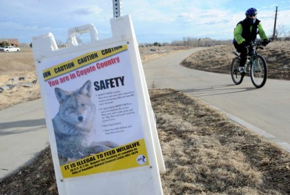 Don't Feed the Coyotes: Boulder Locals Try to Feed Yotes Mexican Food