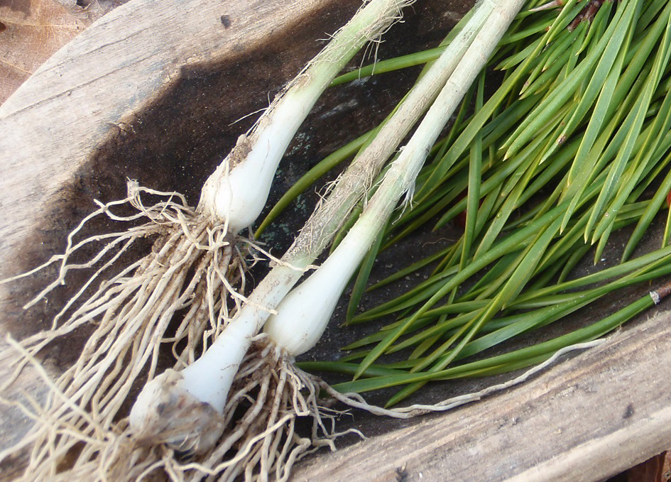 Survival Skills: 3 Wild Roots For Winter Foraging