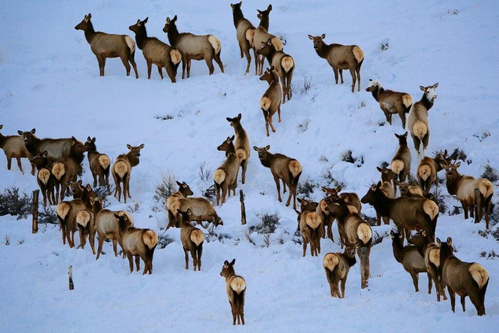 winter elk herd