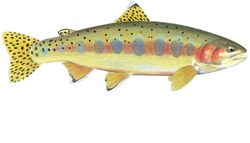 httpswww.outdoorlife.comsitesoutdoorlife.comfilesimport2014importImage2010photo300109_Golden_Trout.jpg