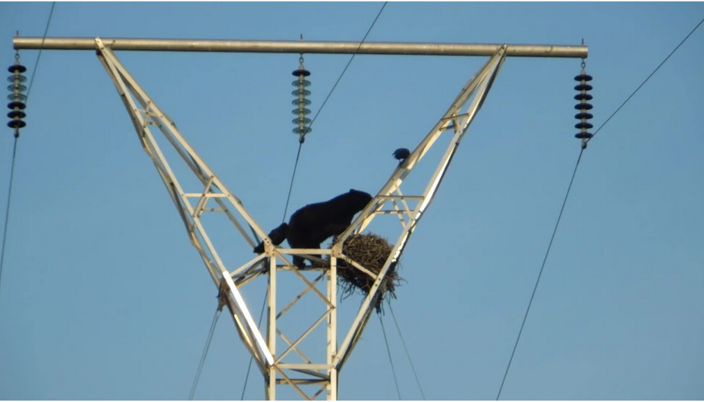 Video: Determined Black Bear Raids Raven's Nest