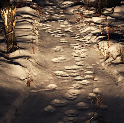 Wolf Tracks: How to Tell If There Are Wolves in Your Woods