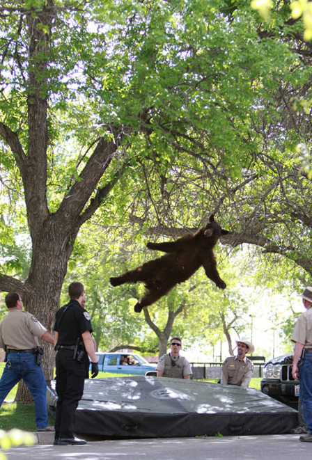 Infamous Falling Bear Killed by Car