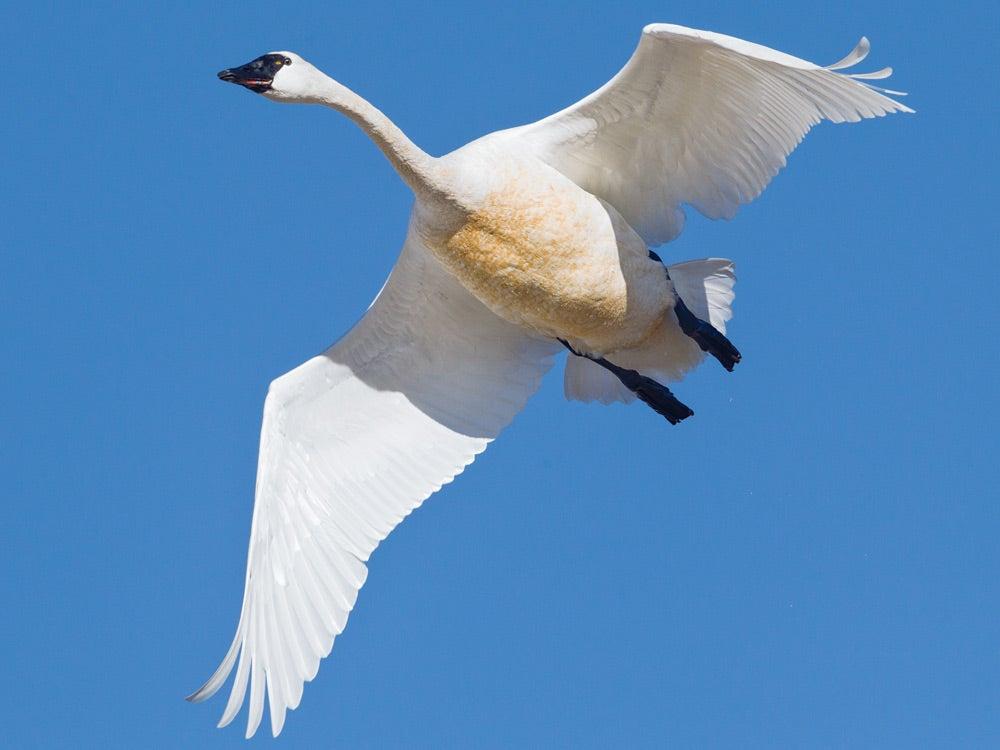 Tunda swan takes to the air