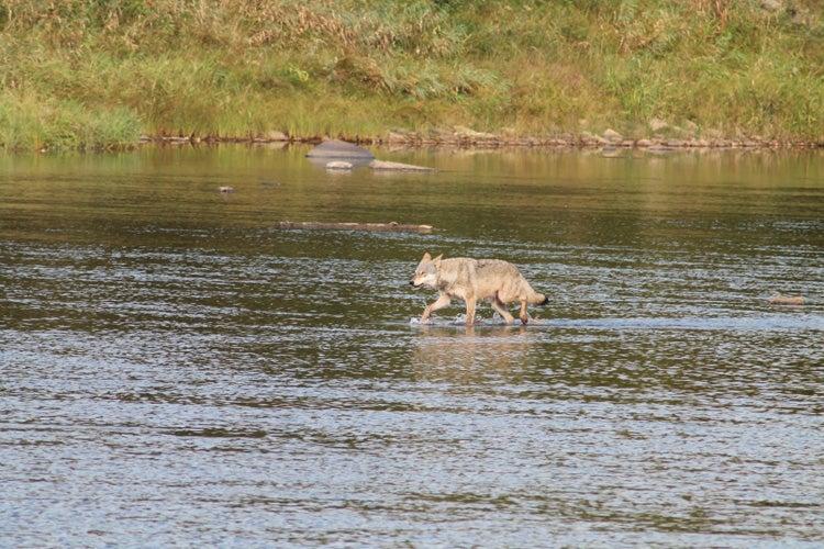 httpswww.outdoorlife.comsitesoutdoorlife.comfilesimport2014importImage2012photo10013215792._Deer_Wolf_sm.jpg