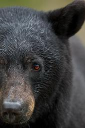 Bear Boom: How to Take Advantage of Growing Black Bear Populations