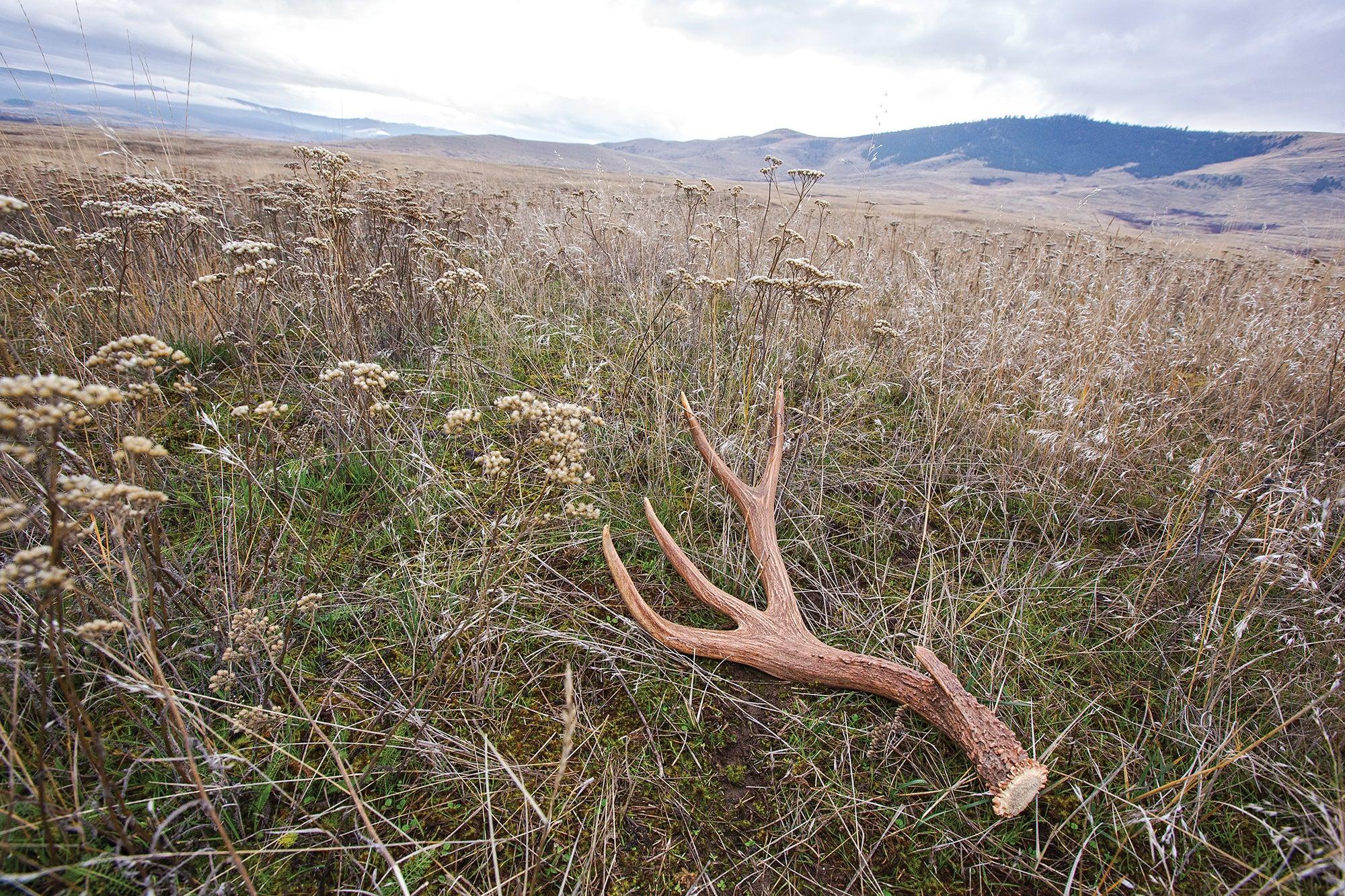 mule deer shed antler