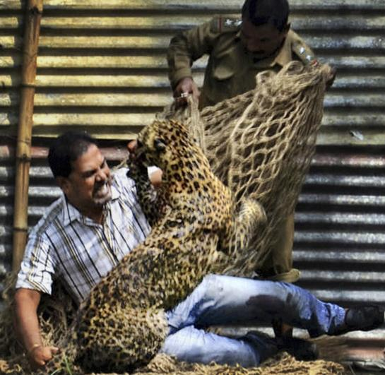 Leopard Injures 13 in India During Daylong Rampage