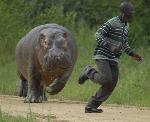 PHOTOS: Hippo Chases Man!