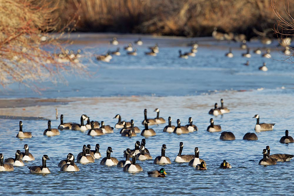 canada geese and mallards on a river