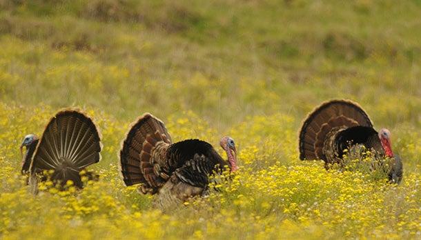 httpswww.outdoorlife.comsitesoutdoorlife.comfilesimport2014importBlogPostembedhawaii_turkey.jpg