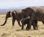 3 Die from Elephant Attacks in Kenya