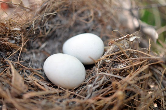 Survival Skills: How Get Emergency Food From Wild Eggs