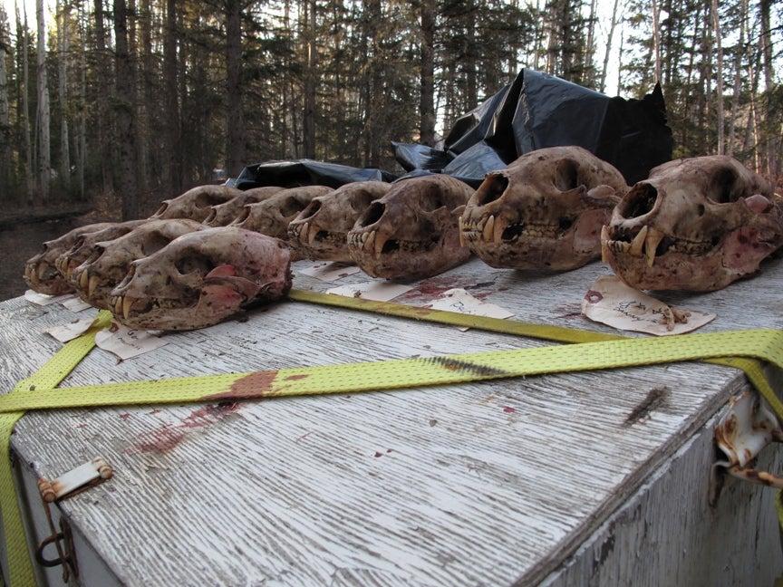 Busting Canada Bears