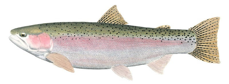 httpswww.outdoorlife.comsitesoutdoorlife.comfilesimport2014importImage2010photo3001017C_Female_Steelhead.jpg
