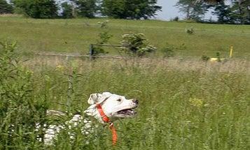 Best Quail Dogs?