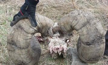 Giant Bighorn Found!
