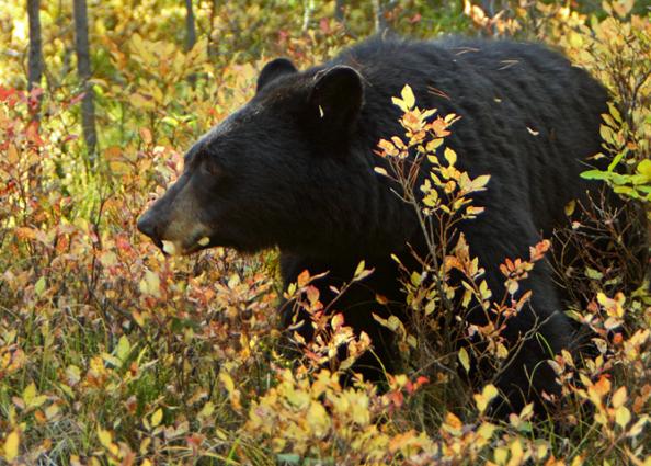 New York Looks to Ban Bear Gallbladder Sales