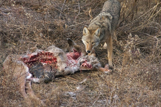 httpswww.outdoorlife.comsitesoutdoorlife.comfilesimport2014importArticleembedCoyote-Carcass_811332.jpg