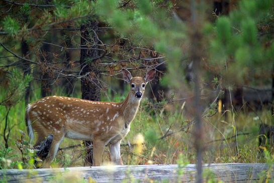 Whitetail Facts: 16 Things to Know About Fawns