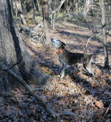 httpswww.outdoorlife.comsitesoutdoorlife.comfilesimport2013images20110211_Dixie_treed_003_0.jpg
