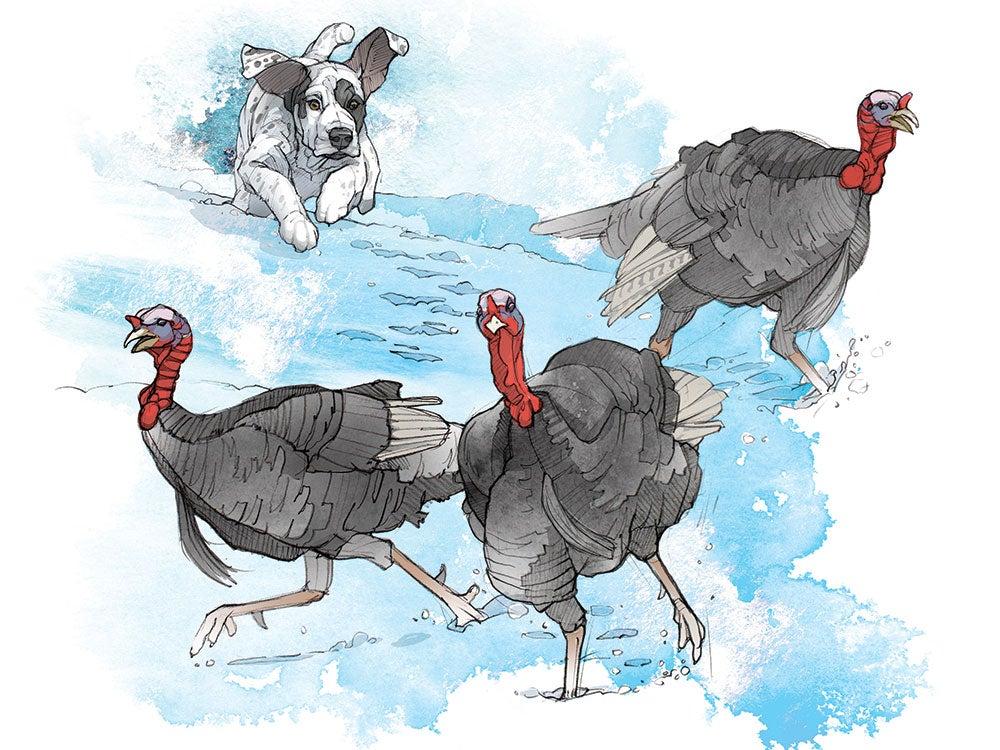 turkey dog, hunting dog
