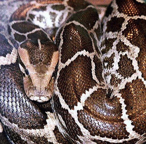 Python Kills Security Guard in Indonesia